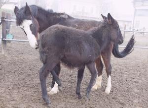 cavallo mulo