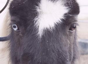 occhi pony