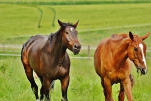 cavalli testa in movimento