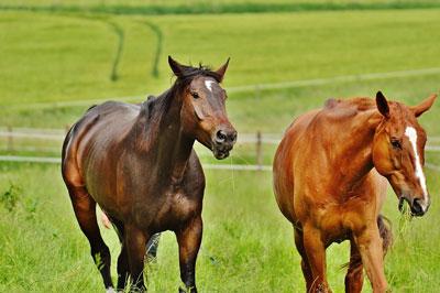 cavalli stalloni