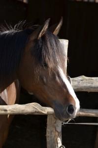 cavallo attento